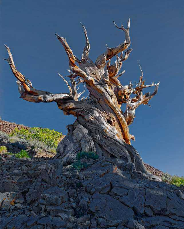 Bristelcone Pine, © Robert Sprenger