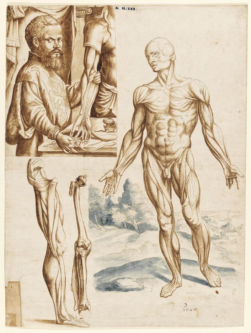 Muskelmann mit Porträt des Vesalius, 1545 Feder und Pinsel auf Papier 39,9 cm hoch x 31,8 cm breit Germanisches Nationalmuseum, Nürnberg